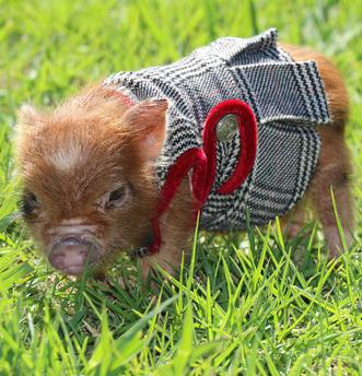 MICRO MINI PIG breeder mini pigs for sale